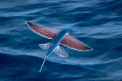 Flying fish in waters off Angola, Africa.