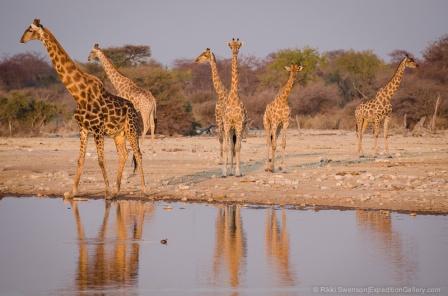 Giraffe congregate at sunset in Etosha.