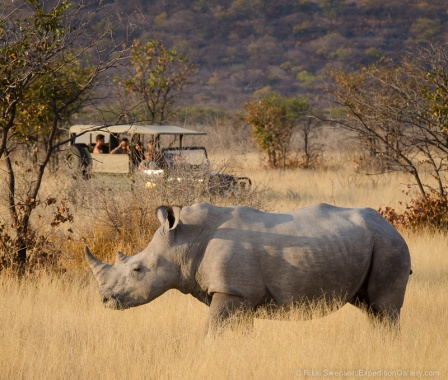 Approaching a massive white rhino in the Ongava Private Reserve.
