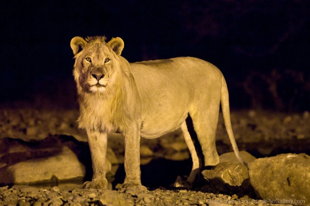 Breathtaking lion moment at the waterhole.