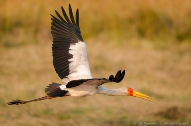 A yellow-billed stork flies along the Chobe River in Chobe National Park, Botswana.