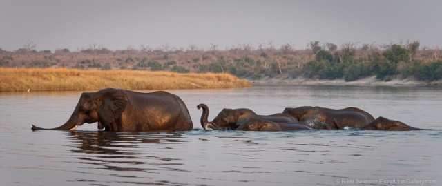 Elephants crossing the Chobe River, Chobe National Park, Botswana.