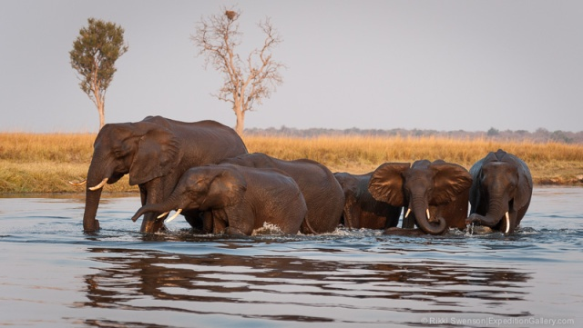 Elephants emerging from the Chobe River in the bronze evening light, Chobe National Park, Botswana.