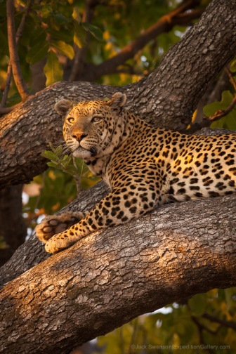 Classic view of a leopard at Chitabe Camp, Botswana.