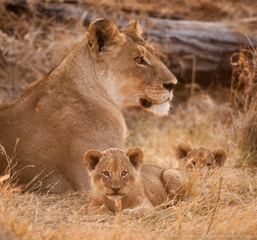 Curious cubs in the Okavango Delta, Botswana.