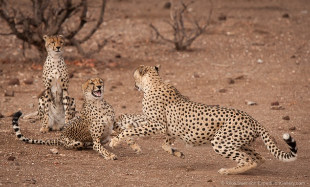 Cheetah males attempt to mate with a reluctant female.