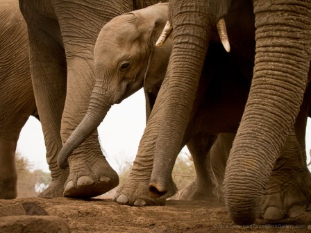 Among giants; an elephant calf lives in a world of trunks and towering legs.