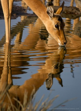 Impala drinking at a waterhole by camp.
