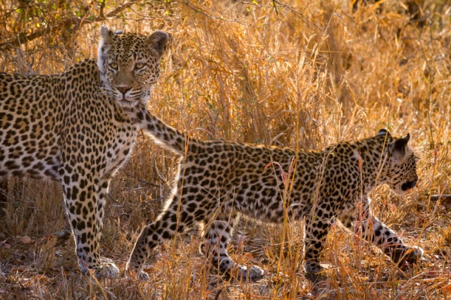 A leopard cub's tail drifts past its mom, intent on hunting.