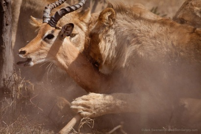 Lions ambushing an impala in Mala Mala Reserve, South Africa.