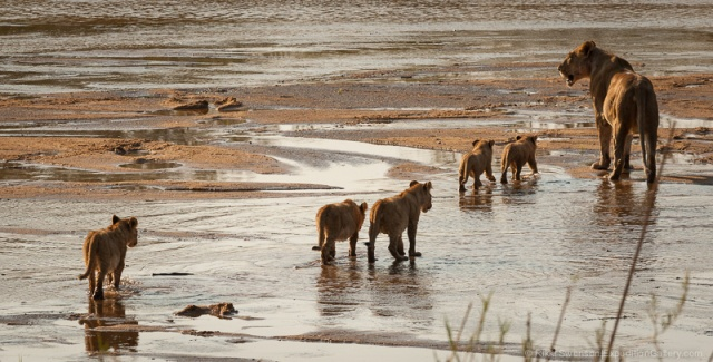 A lioness escorts the pride's cubs across the river.