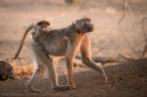 Baby baboon riding on mom.