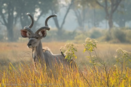 Kudu with elegant spiral horns.