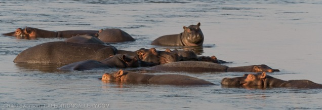 Hippos lolling in the Zambezi River.