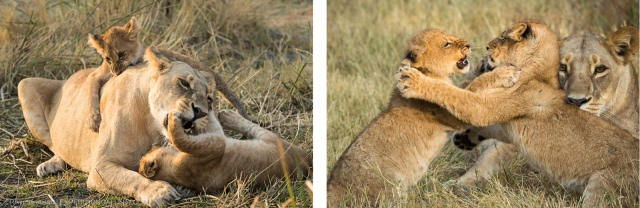 Lion cubs-combo